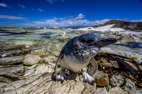 Little (Blue) Penguin, Kaikoura Peninsula, New Zealand