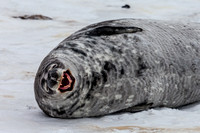 Weddell Seal Snarl
